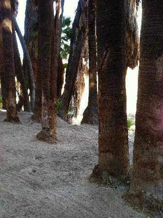 Palm Springs, Kalifornien: Native palms