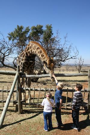 Wildside Tent C& Lion Park Giraffe patting & Giraffe patting - Picture of Wildside Tent Camp Lion Park ...