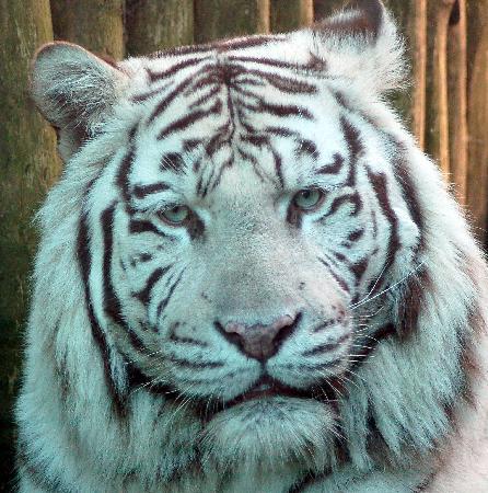 Amersfoort Zoo: Siberische tijger
