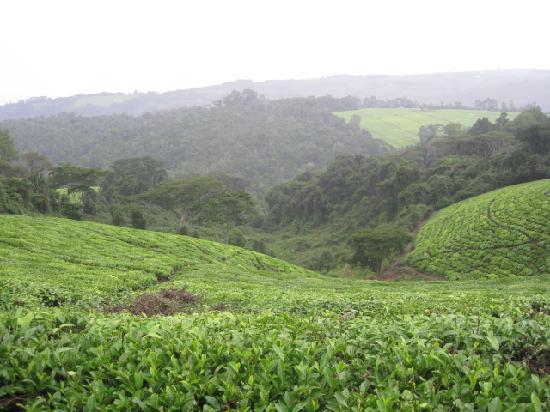 Mufindi Highland Fishing Lodge: Surrounding tea estate