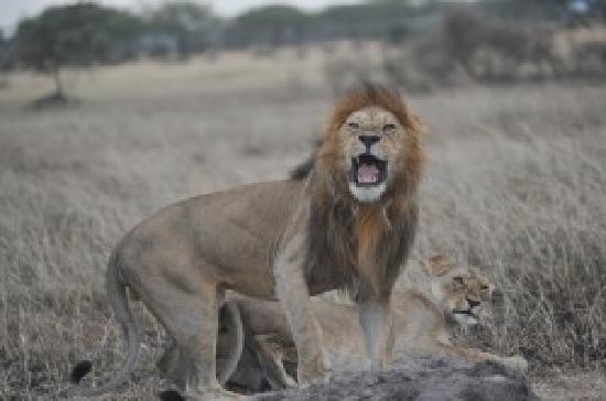 Buffalo Luxury Camp: Lions