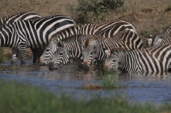 Buffalo Luxury Camp: Zebra