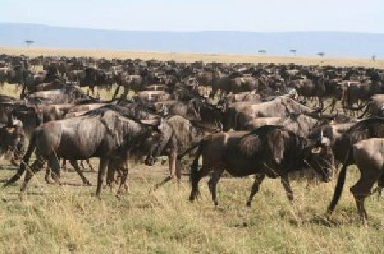 Buffalo Luxury Camp: Wildebeast