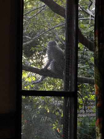 Imvubu Lodge: Vervet monkey right outside the chalet window