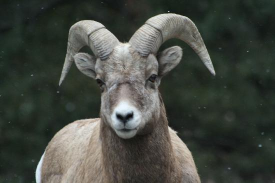McGregor Mountain Lodge: Big horn sheep ram
