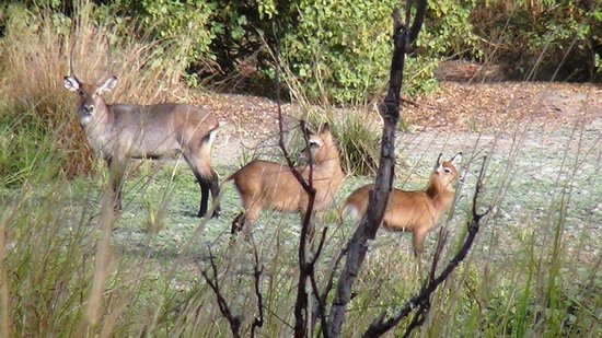 Yankari Game Preserve, Nigeria: Water bucks at Yankari