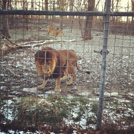 Utica, Estado de Nueva York: the lions. :)