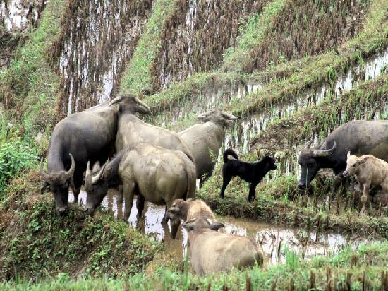 มอง เม้าเท่น รีทรีท: Buffalo plaing in mud outside our hut
