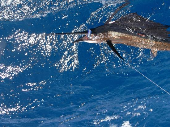 True Blue Sportfishing: Sailfish 60lbs