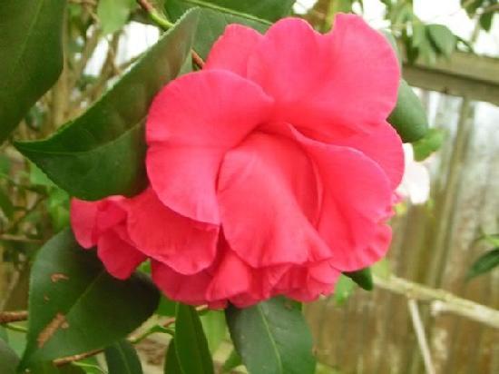 """Massee Lane Gardens: c. japonica """"Nancy Reagan"""""""