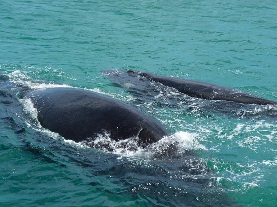 Ivanhoe Sea Safaris: whales 2