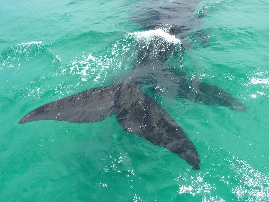 Ivanhoe Sea Safaris: whales 3