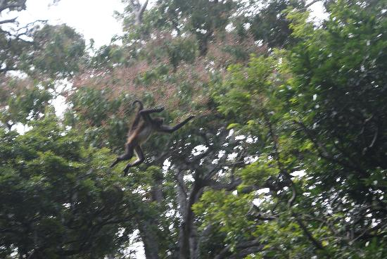 Tuxtla Gutierrez, Mexico: Mono Araña en Pleno Vuelo