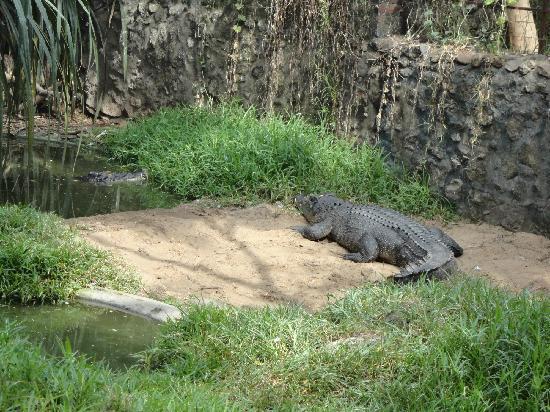 Madras Crocodile Bank: The dangerous salt water croc