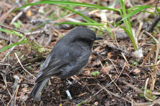 Stewart Island, New Zealand: Robin