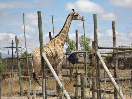 Giraffe House Wildlife Awareness Centre: Gerry the Giraffe