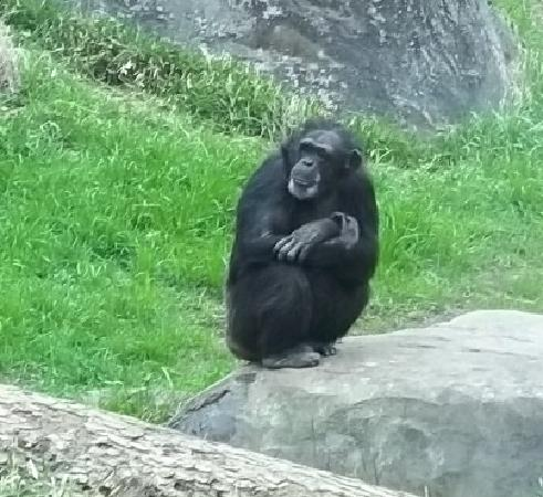 Asheboro, Carolina del Norte: Chimpanzee