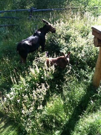 Wildflower Lodge at Jackson Hole: My Backyard Neighbors!