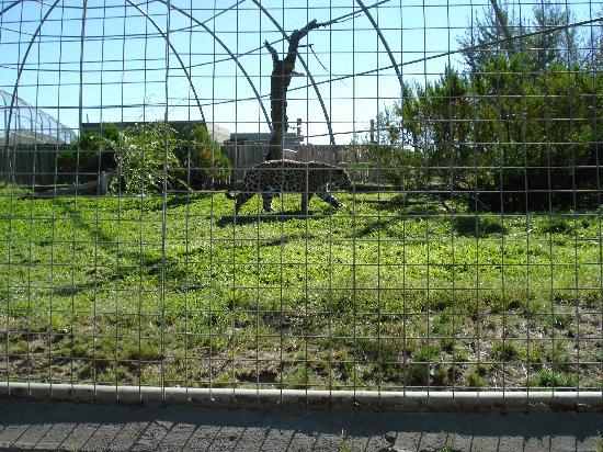 Zoo Bubalco: Puma