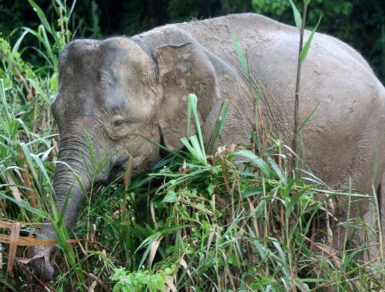 Bilit Rainforest Lodge: Pygmy Elephant