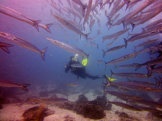 Scuba Iguana : Author & barracuda school