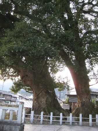 Owase Shrine: 尾鷲神社 楠の大樹