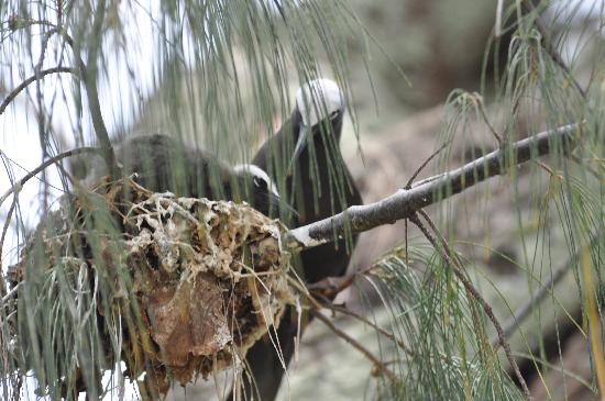 Heron Island Resort: Black nobby feeding chick. Reused nests, often at eye level along walking paths, reek of droppin