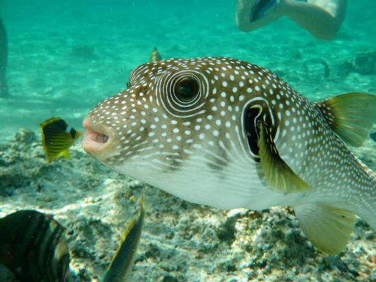 Friendly puffer fish picture of resta grand resort for Puffer fish price
