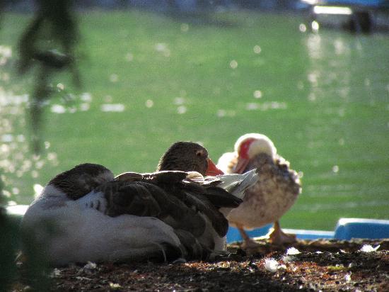 Montevideo, Uruguay: laguna del parque y sus animales