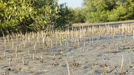 Jamnagar, India: Mangrove Roots - Breathing air
