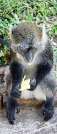 Baobab Beach Resort & Spa: naughty monkey