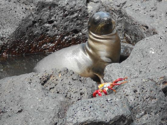 San Cristobal, Ekvador: Baby Sea Lion and Lightfooted Crab