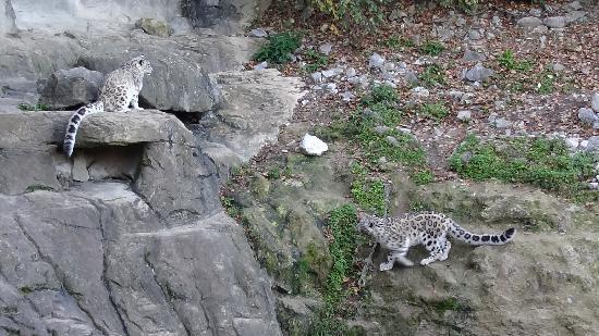 Zoo Zurich : Snow leopards