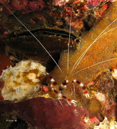 Liquid Lense: Boxing shrimp-Stenopus hispidus