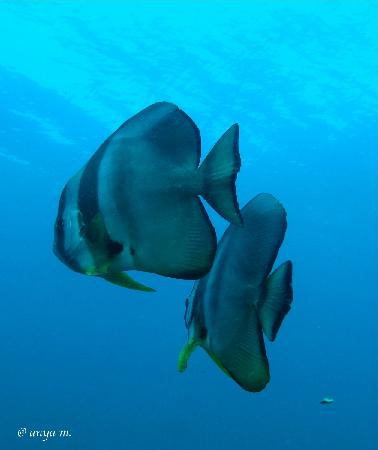 Liquid Lense: Batfish- Platax