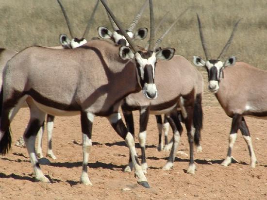 Hermanus Day Tours: Oryx