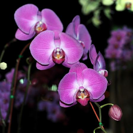 Wipanan Mansion : Orchids - Chiang Mai Flower Festival