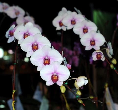 Wipanan Mansion : Orchids at Chiang Mai Flower Festival
