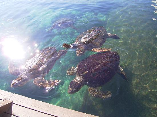 Kushimoto Marine Park Undersea Tower : たくさんのウミガメ