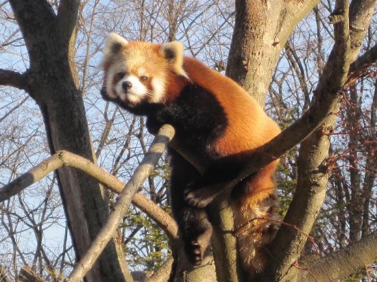 Nagano, Japan: レッサーパンダ
