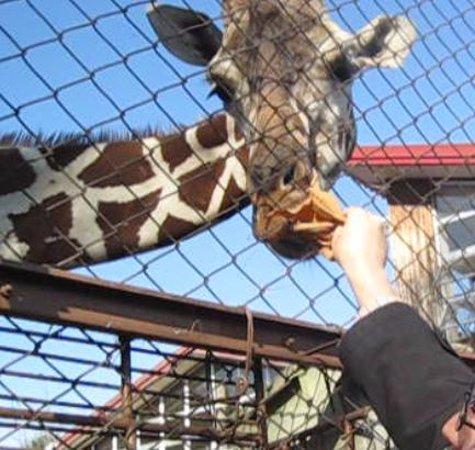 Nagano, Japón: キリンに餌をやって触れます
