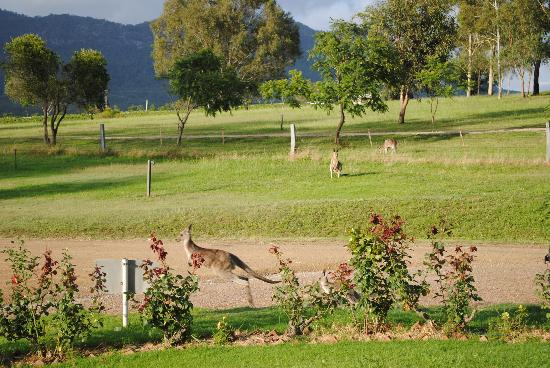 Willow Tree Estate: kangaroos in the morning