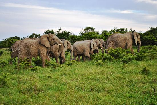 Mpongo Private Game Reserve: The Great Mpongo Elephants