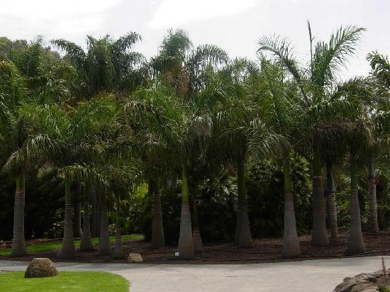 Palmeras picture of jardin canario las palmas de gran for Palmeras para jardin