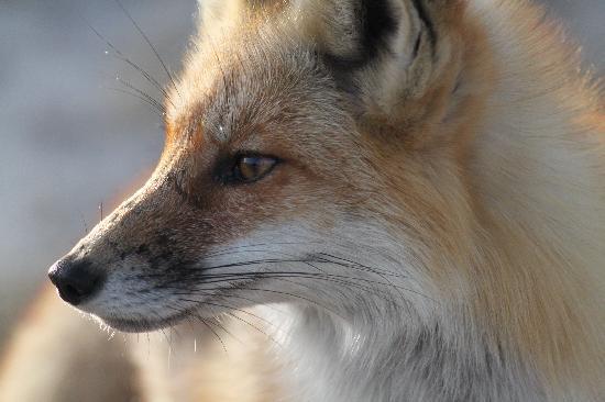 Island Beach State Park: Red Fox