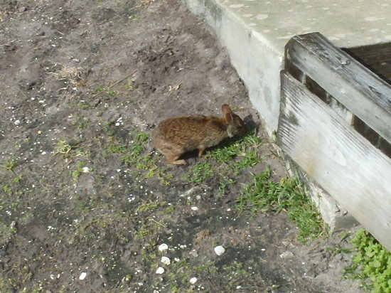 Boynton Beach, FL: Marsh rabbit