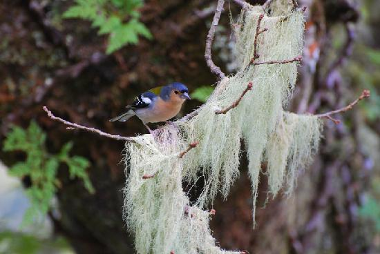 25 Fontes and Cascada da Risco : Friendly Chaffinches cheer you along the way!