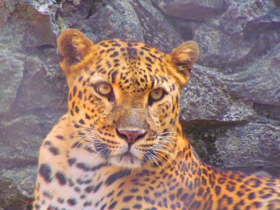 Kolkata Zoo & Zoological Garden: Leoperd