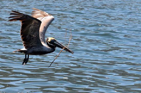Ocean Friendly Whale Watching Tours: Brown pelican...