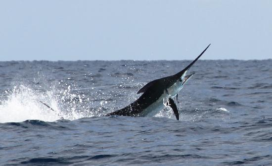Pisces sportfishing cabo san lucas mexico top tips for Marlin fishing cabo